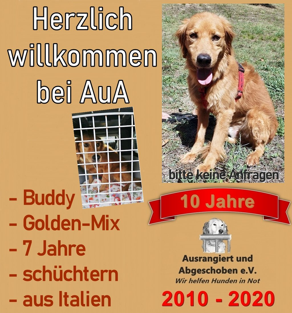 Buddy ein Golden-Mix