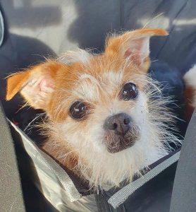 Hund Felicie sitzt im Autositz