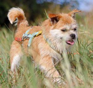 Hund Felicie läuft durchs Gras