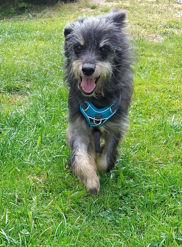 Hund Freddy rennt durchs Gras