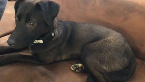 Hund Frieda liegt auf der Couch