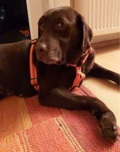 Hope brauner Labrador schaut in die Kamera
