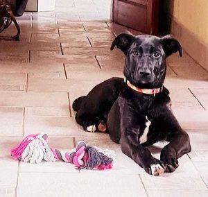 Hund Ilse liegt mit Spielzeug da und schaut in die Kamera.