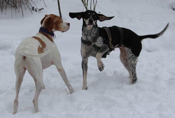 Hund Lissy spielt mit ihrem Hundekumpel im Schnee