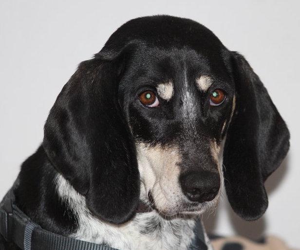Gesichtsbild von Lissy Anglo Beagle Mix