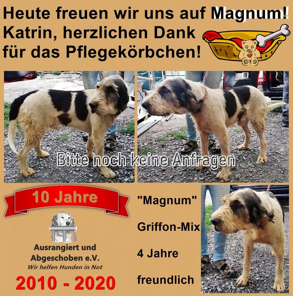 Bilder von Hund Magnum einem Griffon-Mix der heute in seine PS zieht