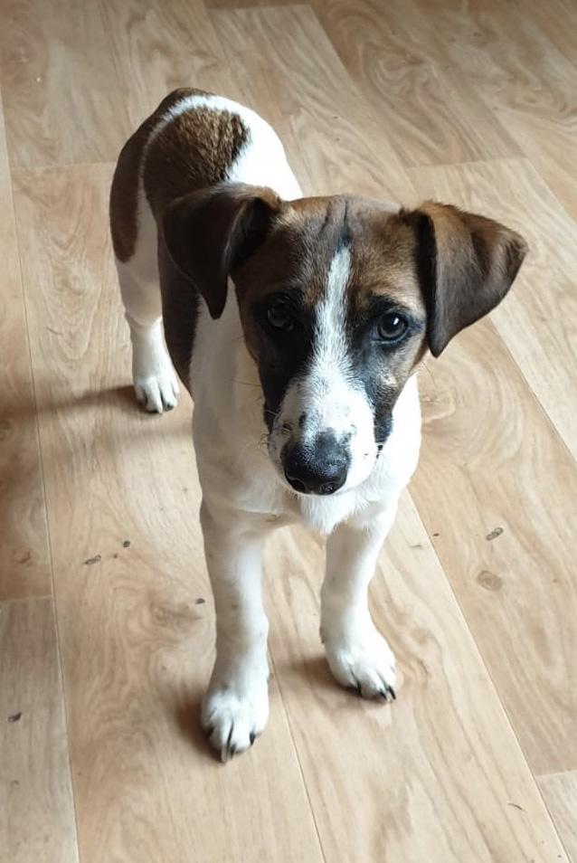 Murphy – Jack Russel Terrier – geb. 2019