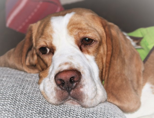 Beagle Rosie