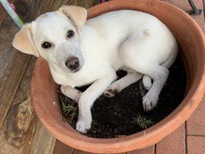 Welpe Toni liegt im Blumentopf