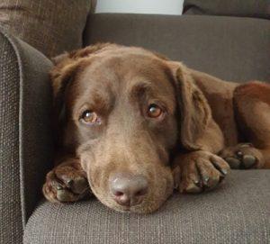 Labrador Jewel liegt auf der Couch