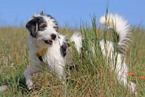 Hund Oskar streift durchs hohe Gras